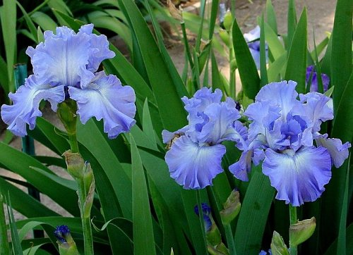 Iris Photo - Sea Swells